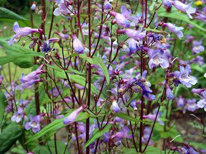 penstemon-2