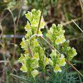 2009 09 10 Fleurs sauvages ressemblant au Muflier