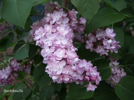 lilas4 avril