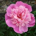 2008 06 24 Ma première fleur de pivoine Crousse