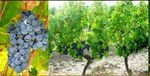 vignes chesnesau