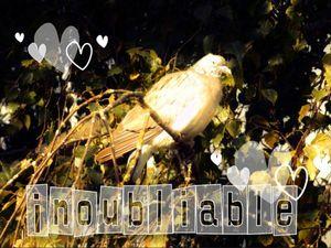 tourterelle 13 sept 2012