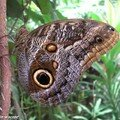 Caligo eurilochus • Brassolidae • Costa Rica