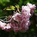 Cerisier _13 25 04_1900