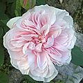 Rose_ancienne_1