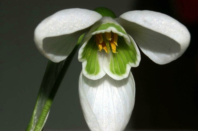 Photo-Galanthus_nivalis_clochette-ouverte