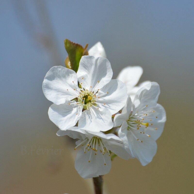 Fleurs de cerisier aigre