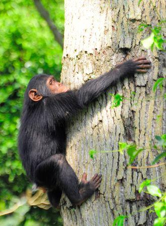 Chimpanz___parc_de_Queen_Elizabeth__Ouganda__2_