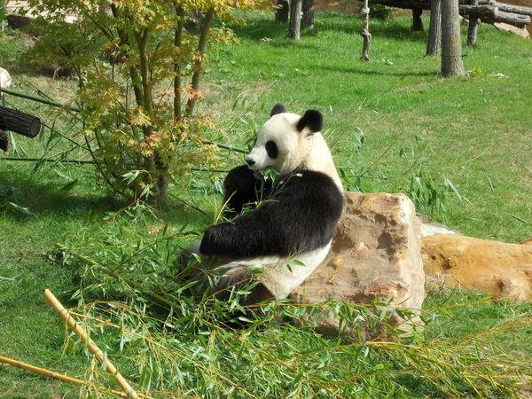 Panda_g_ant_de_Chine