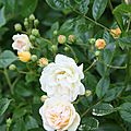 Roses du jardin fin Mai 2009 (120)
