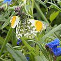 papillon-2 (2)