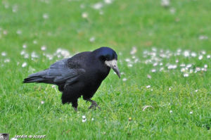 Corbeau freux • Corvus frugilegus • Famille des Corvidae