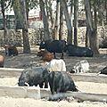Les toros de bayonne