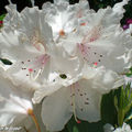 Rhododendrons blancs