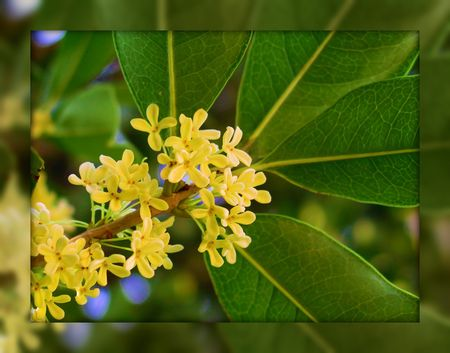 Osmanthus_fragrans
