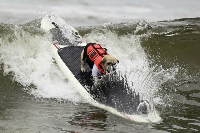 chiens surfeurs USA 1
