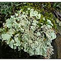 Lichens