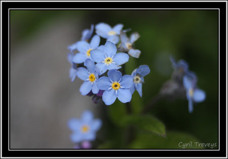 2010_05_18_Fleurs_de_myosotis__2_