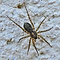 Pardosa amentata • Famille des Lycosidae