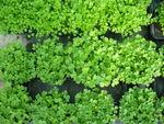 Jeunes_plants_de_persil