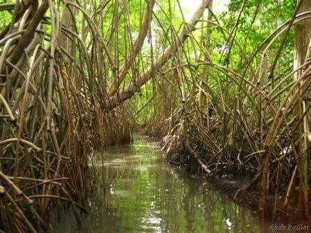 mangrove__1_