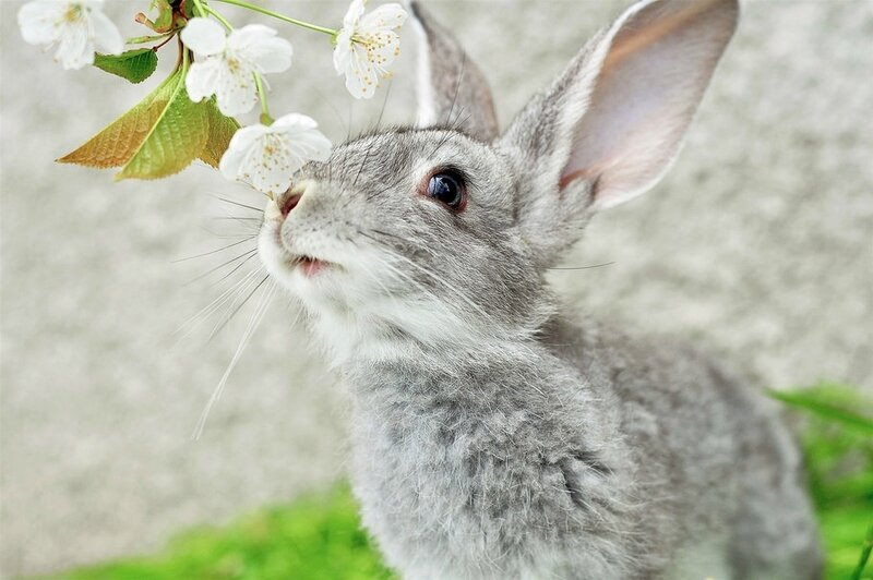 98737__gray-rabbit-ears-muzzle-whiskers-twig_p