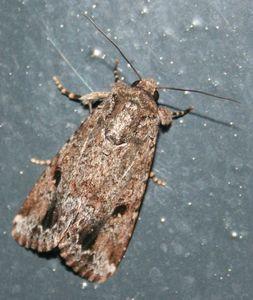 Spodoptera mauritia mauritia 02 (1)