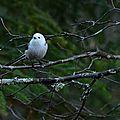 Un petit diable blanc dans la forêt boréale: aegithalos caudatus caudatus