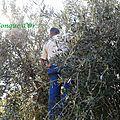 La récolte des olives 2013