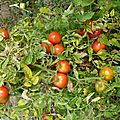tomates montfavet - www.passionpotager.canalblog.com