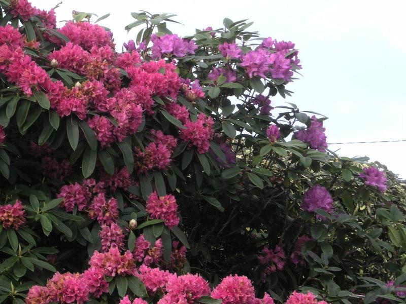 rhododendron rouge et violet