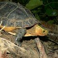 Tortue boîte à bord jaune/yellow margined box turtle/食蛇龜 (cistoclemmys flavomarginata)