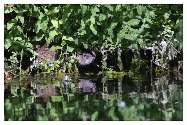 ville lulu rat riviere 9 renifle 230812