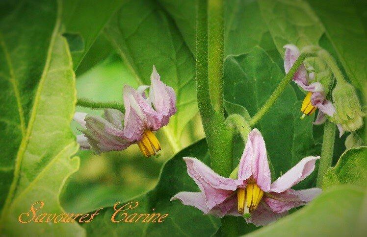 Fleurs_d_aubergines
