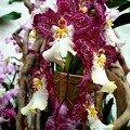Orchidée 'Brume de Valec tigrinum'