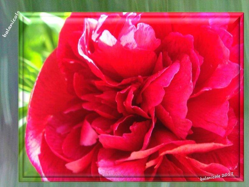 balanicole_2017_07_le printemps des pivoines_01_yvonne1