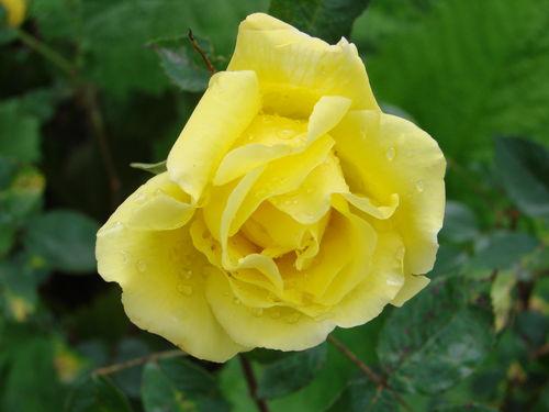 2008 07 03 Une fleur de rose
