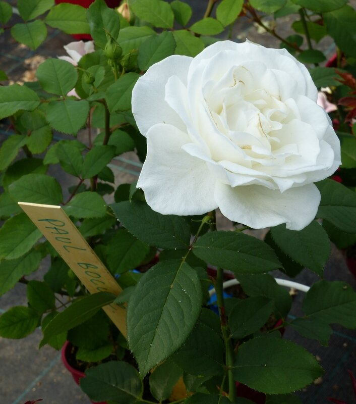 rose blanche Paul Bocuse