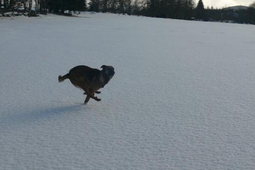 2008 12 30 Le chien Kapy en train de courir, les quatres pates en l'aire