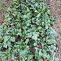 20 septembre - betteraves arrachées...greliner..pailler..planter...et conserves stérilisées