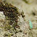Polydrusus splendidus