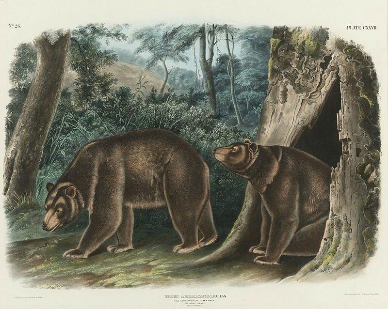 800px-Cinnamon_bear_by_J_T_Bowen_after_John_James_Audubon