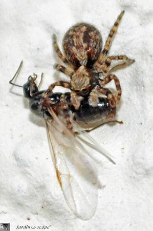 Pseudeuophrys lanigera