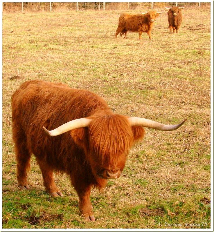 La vache de race Highland (4)