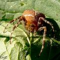 Araneus sp