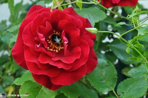 Rosier-red-Parfum-2
