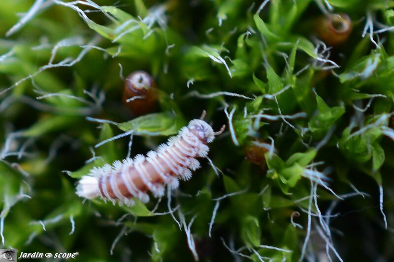 Diplopode Polyxenus lagurus