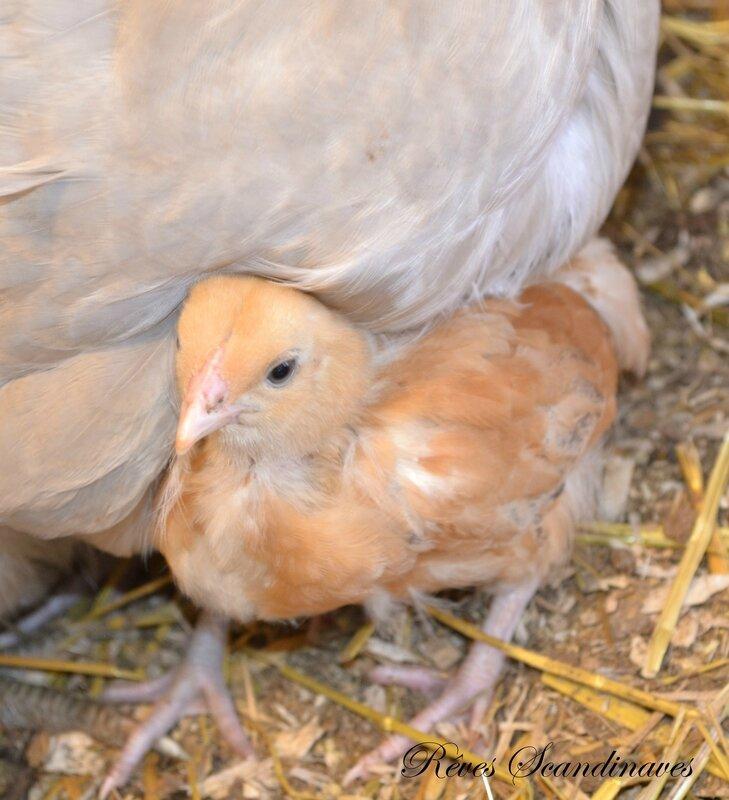 OM + kycklis 4 v