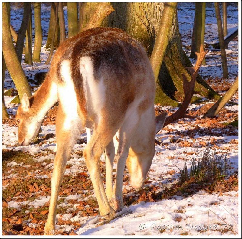 Les daims dans la neige (5)
