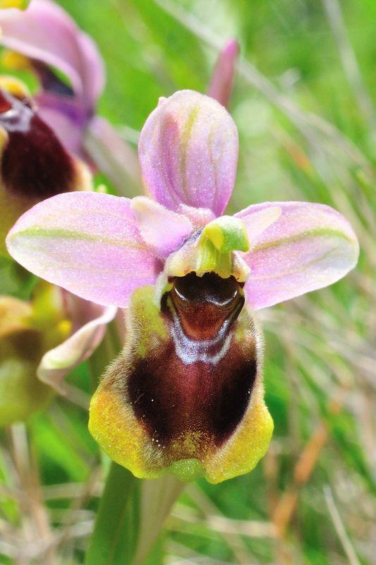 Ophrys_tenthredinifera